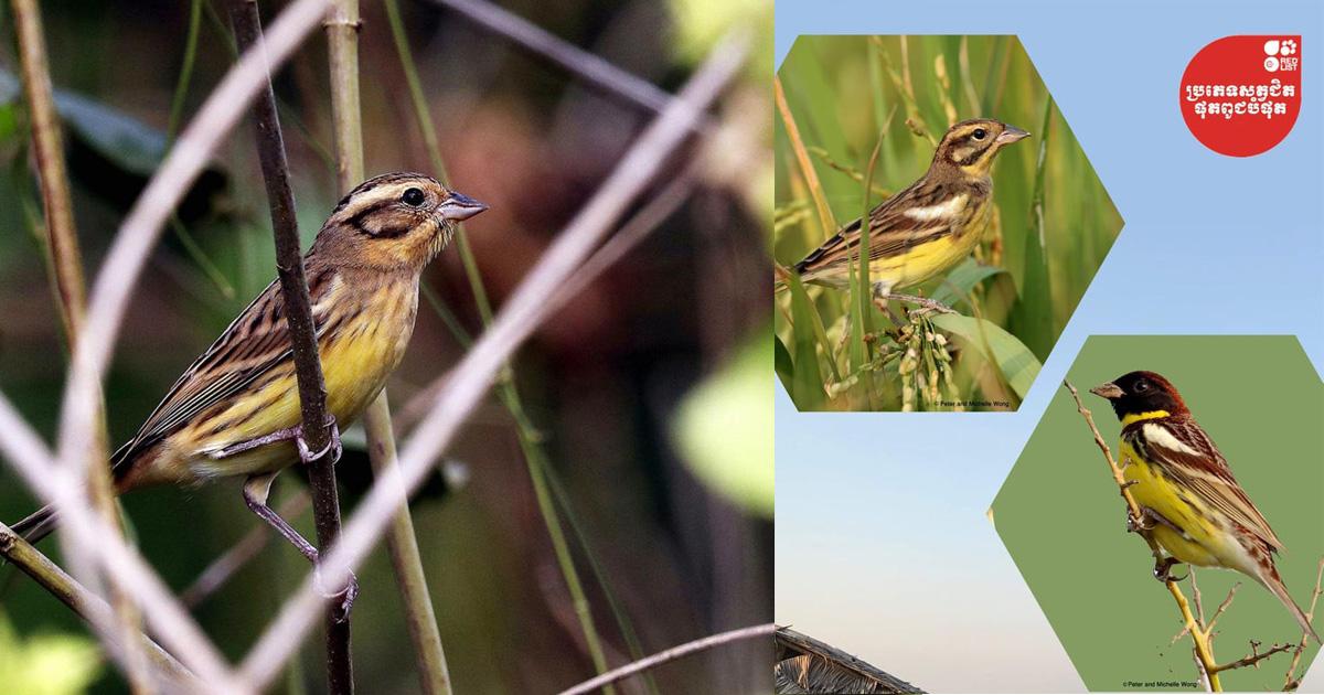 ចាបព្រៃវែង(Yellow-breasted Bunting Enberiza aueola)ជាប្រភេទជិតផុតពូជបំផុតលើលោកបម្លាស់ទីមកកាន់ប្រទេសកម្ពុជា